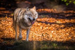 vlk 02