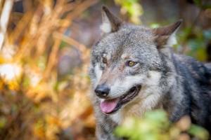 vlk 04